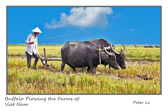 BUFFALO PLOWING THE FARM OF VN A2 (1)