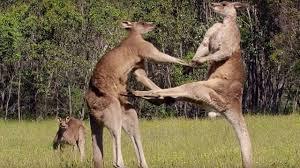 nu-cuoi-kangaroo-4