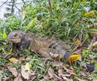 iguana-lizard-green-212956