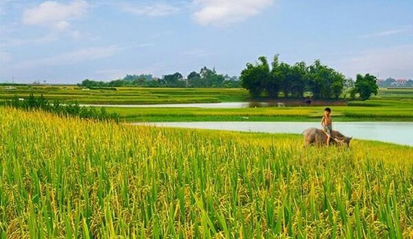 HuongLuaDongQue-minhhoa